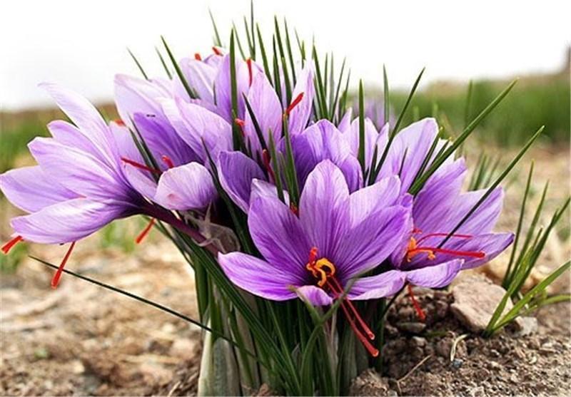 کیفی ترین زعفران جهان در ایران فراوری می گردد، یونان، مراکش، ترکیه و هند رقبای جدید زعفران ایران