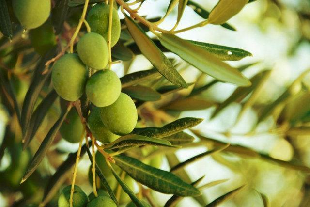 پیش بینی برداشت 120 هزارتن دانه زیتون، لزوم افزایش سرانه مصرف روغن زیتون در کشور