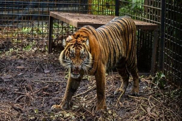 مرگ نگهبان باغ وحش بعد از فرار دو ببر سوماترایی