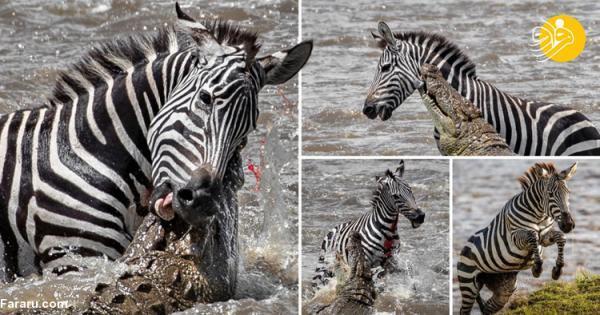 (تصاویر) فرار گورخر خوش شانس از آرواره های تمساح