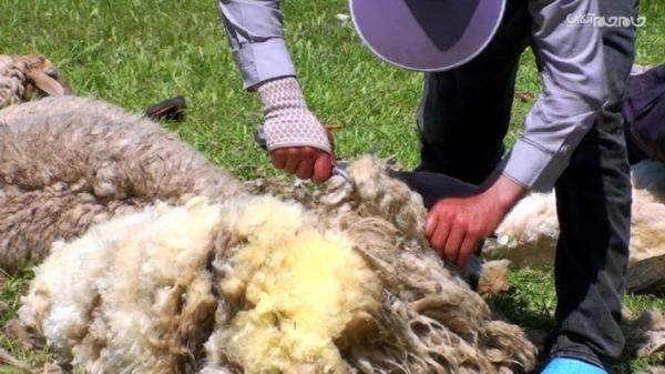 پشم چینی گوسفندان عشایر شاهسون مغان در اصلاندوز