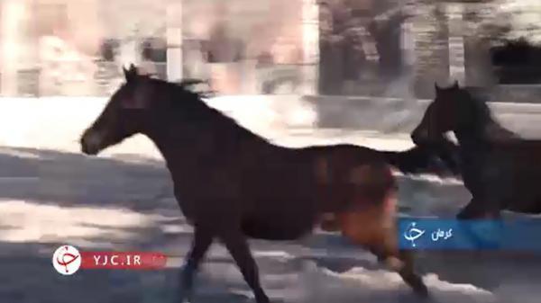 صندلی قابل توجه استان کرمان در پرورش اسب